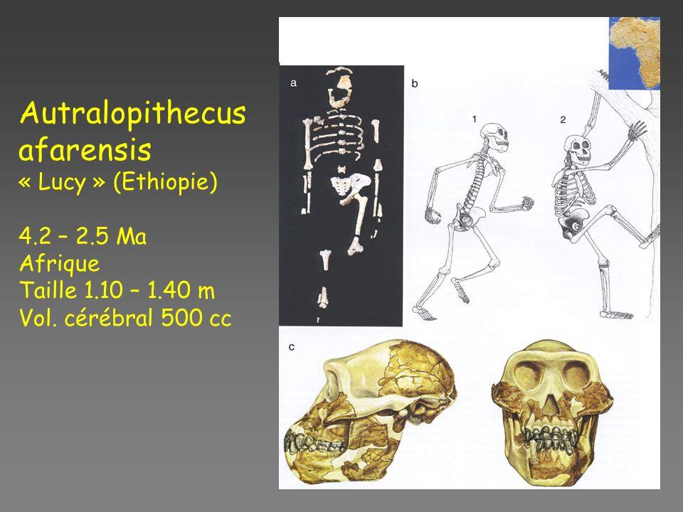 Autralopithecus afarensis « Lucy » (Ethiopie) 4.2 – 2.5 Ma Afrique Taille 1.10 – 1.40 m Vol.