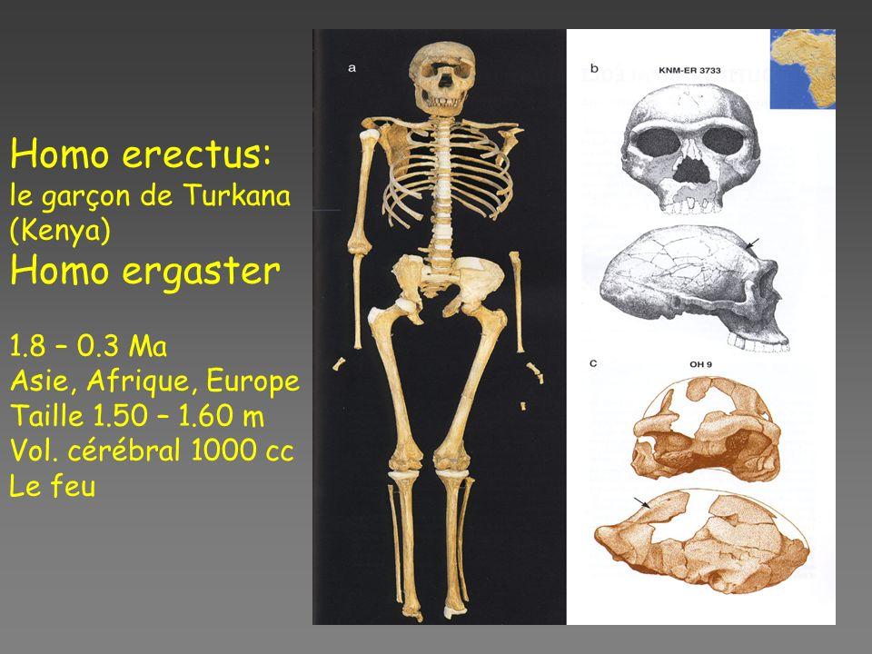 Homo erectus: le garçon de Turkana (Kenya) Homo ergaster 1.8 – 0.3 Ma Asie, Afrique, Europe Taille 1.50 – 1.60 m Vol.