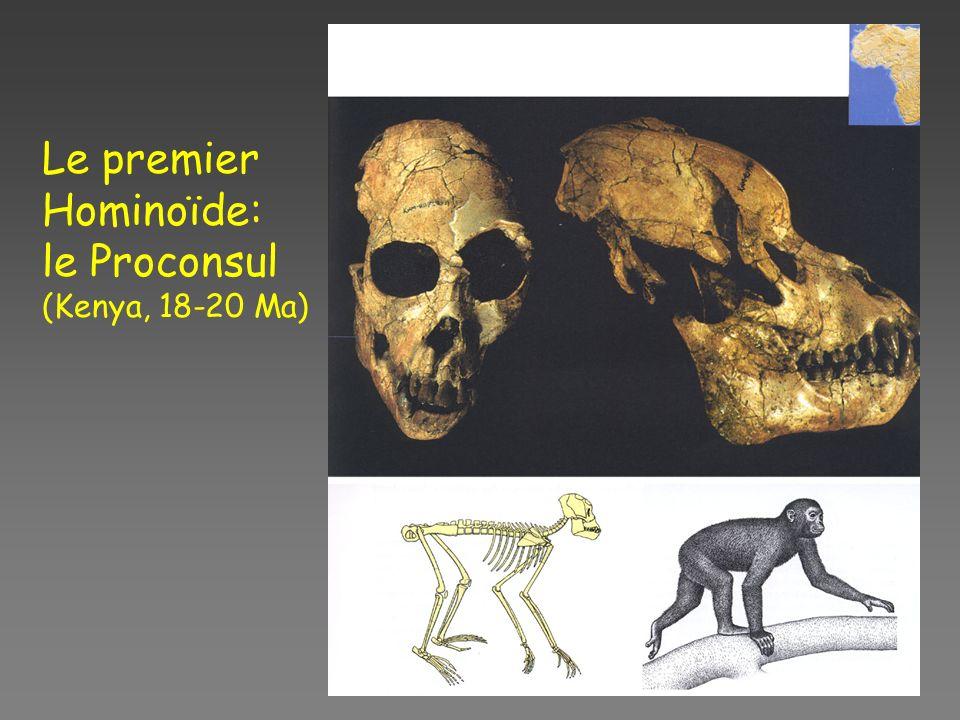 Le premier Hominoïde: le Proconsul (Kenya, 18-20 Ma)