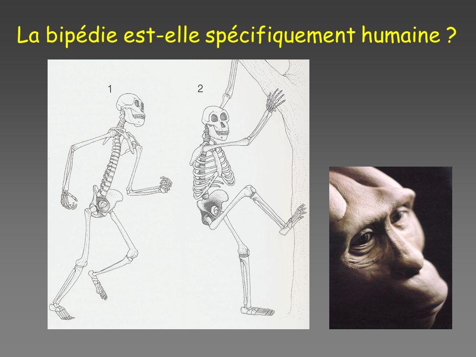 La bipédie est-elle spécifiquement humaine ?