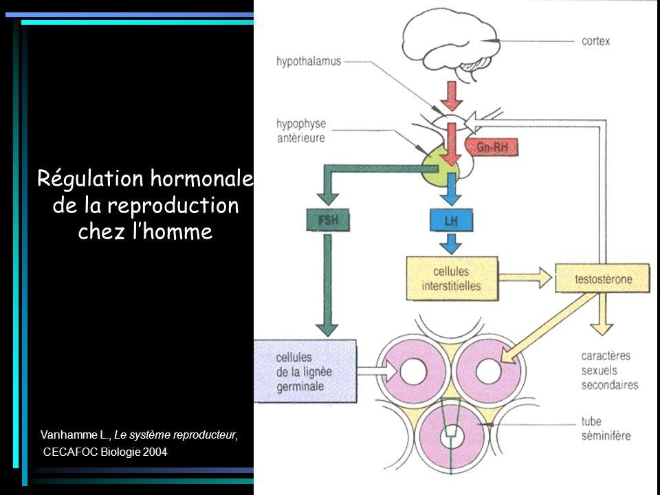 Régulation hormonale de la reproduction chez lhomme Vanhamme L., Le système reproducteur, CECAFOC Biologie 2004
