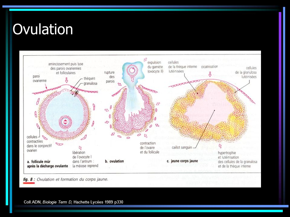 Ovulation Coll.ADN, Biologie Term D, Hachette Lycées 1989 p330
