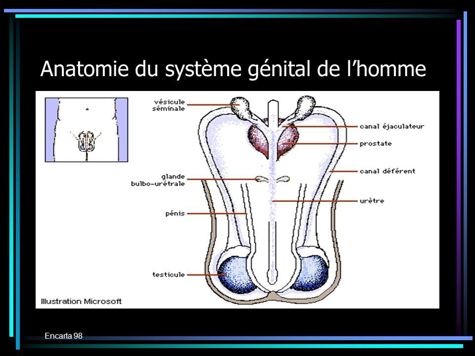 Anatomie du système génital de lhomme Encarta 98