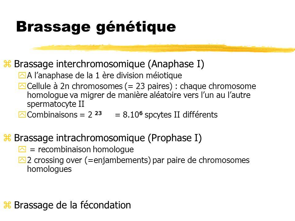 Brassage génétique zBrassage interchromosomique (Anaphase I) yA lanaphase de la 1 ère division méiotique yCellule à 2n chromosomes (= 23 paires) : cha
