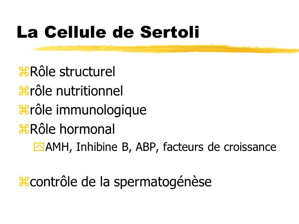 La Cellule de Sertoli zRôle structurel zrôle nutritionnel zrôle immunologique zRôle hormonal yAMH, Inhibine B, ABP, facteurs de croissance zcontrôle d