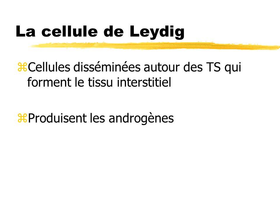 La cellule de Leydig zCellules disséminées autour des TS qui forment le tissu interstitiel zProduisent les androgènes