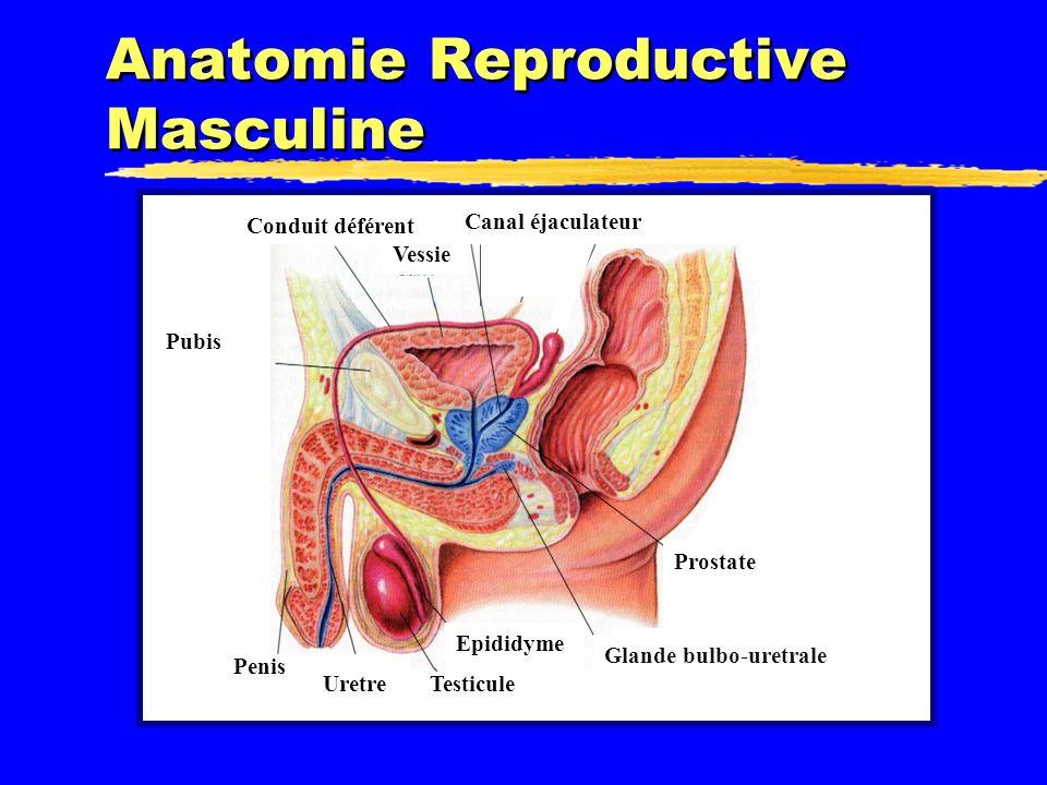 Anatomie Reproductive Masculine Prostate Vessie Pubis Uretre Penis Glande bulbo-uretrale Epididyme Conduit déférent Canal éjaculateur Testicule