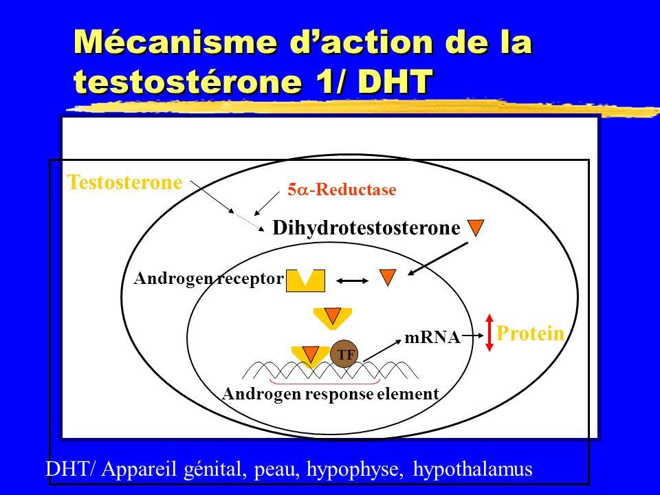 Mécanisme daction de la testostérone 1/ DHT Testosterone Dihydrotestosterone 5 -Reductase Androgen receptor TF Androgen response element mRNA Protein DHT/ Appareil génital, peau, hypophyse, hypothalamus