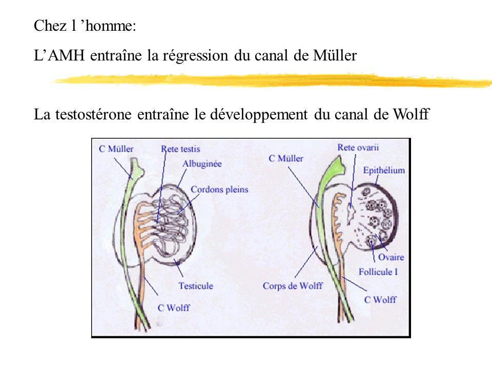 Chez l homme: LAMH entraîne la régression du canal de Müller La testostérone entraîne le développement du canal de Wolff