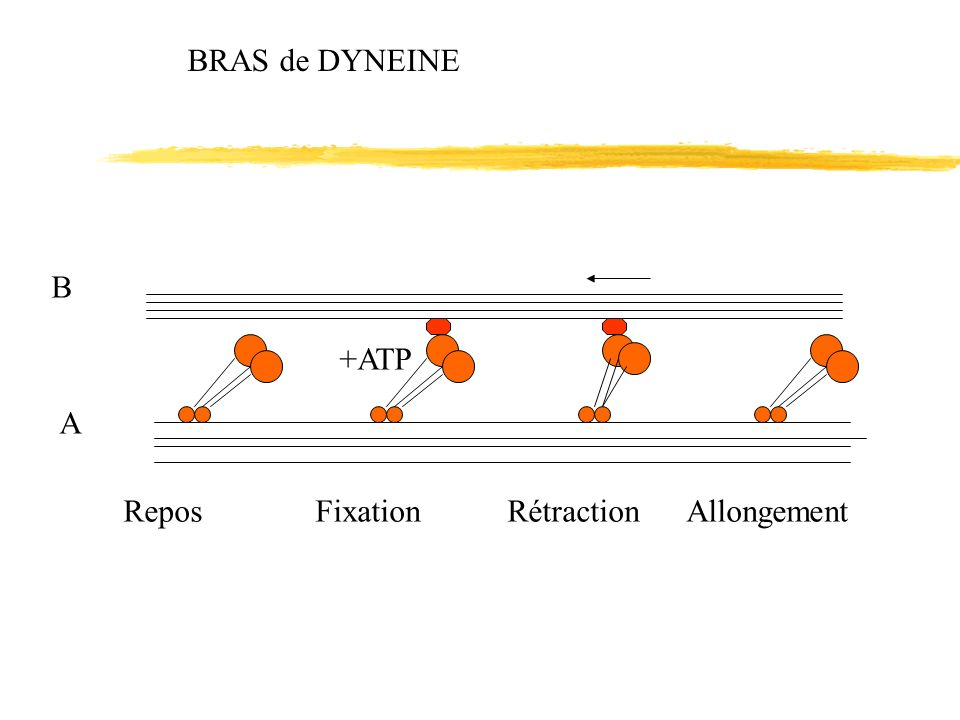 BRAS de DYNEINE +ATP B A ReposFixationRétraction Allongement