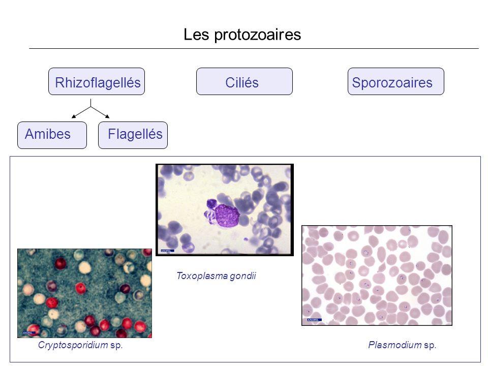 Les protozoaires Rhizoflagellés Ciliés Sporozoaires Amibes Flagellés Cryptosporidium sp. Toxoplasma gondii Plasmodium sp.