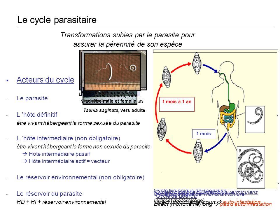 Cycle de Loa loa Loa loa, ver adulte Cycle biologique de Schistosoma sp. Schistosoma sp., vers adultes Cycle biologique de Taenia sp. Indirect (hétéro