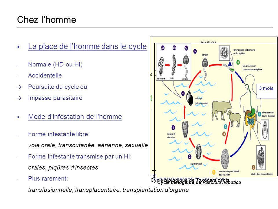 Cycle biologique de Toxocara canis La place de lhomme dans le cycle - Normale (HD ou HI) - Accidentelle Poursuite du cycle ou Impasse parasitaire Mode dinfestation de lhomme - Forme infestante libre: voie orale, transcutanée, aérienne, sexuelle - Forme infestante transmise par un HI: orales, piqûres dinsectes - Plus rarement: transfusionnelle, transplacentaire, transplantation dorgane Chez lhomme Cycle biologique de Taenia sp.
