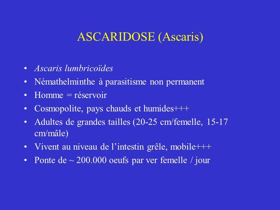 ASCARIDOSE (Ascaris) Ascaris lumbricoïdes Némathelminthe à parasitisme non permanent Homme = réservoir Cosmopolite, pays chauds et humides+++ Adultes