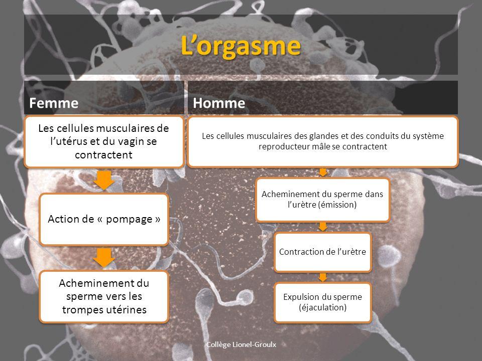 Lorgasme Femme Les cellules musculaires de lutérus et du vagin se contractent Action de « pompage » Acheminement du sperme vers les trompes utérines H