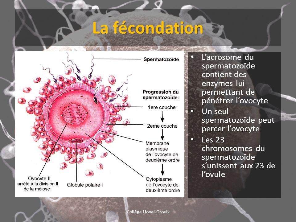 La fécondation Collège Lionel-Groulx Lacrosome du spermatozoïde contient des enzymes lui permettant de pénétrer lovocyte Un seul spermatozoïde peut pe