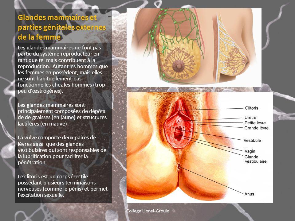 Glandes mammaires et parties génitales externes de la femme Les glandes mammaires ne font pas partie du système reproducteur en tant que tel mais cont