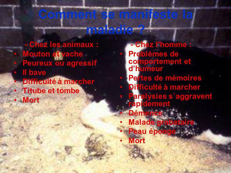 Comment se manifeste la maladie ? - Chez les animaux : Mouton et vache Peureux ou agressif Il bave Difficulté à marcher Titube et tombe Mort - Chez l'