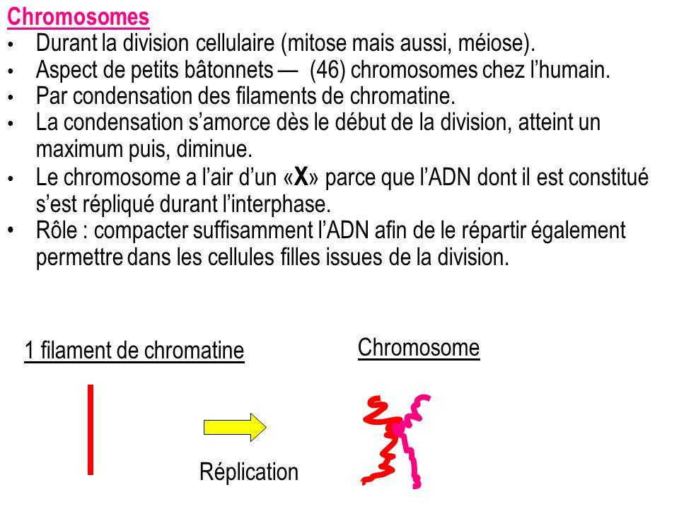 Chromosomes Durant la division cellulaire (mitose mais aussi, méiose). Aspect de petits bâtonnets (46) chromosomes chez lhumain. Par condensation des