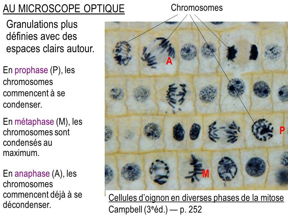 AU MICROSCOPE OPTIQUE Granulations plus définies avec des espaces clairs autour. Cellules doignon en diverses phases de la mitose Campbell (3 e éd.) p