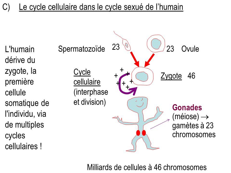46 OvuleSpermatozoïde Zygote Cycle cellulaire (interphase et division) 23 Gonades (méiose) gamètes à 23 chromosomes + ++ + + + + C) Le cycle cellulaire dans le cycle sexué de lhumain Milliards de cellules à 46 chromosomes L humain dérive du zygote, la première cellule somatique de l individu, via de multiples cycles cellulaires !