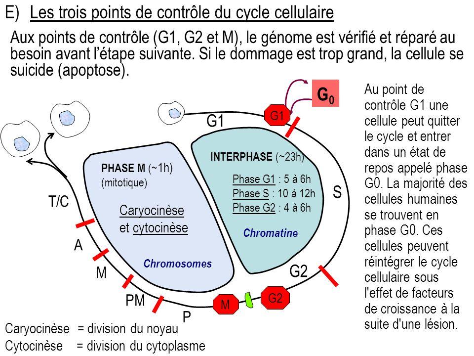 Aux points de contrôle (G1, G2 et M), le génome est vérifié et réparé au besoin avant létape suivante. Si le dommage est trop grand, la cellule se sui