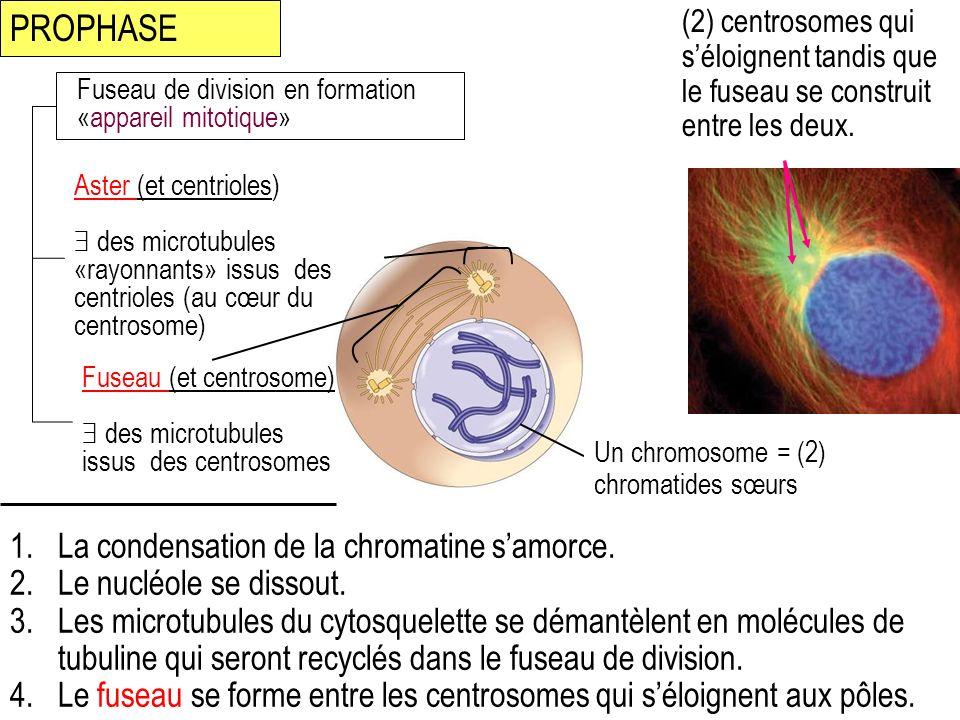 1.La condensation de la chromatine samorce. 2.Le nucléole se dissout. 3.Les microtubules du cytosquelette se démantèlent en molécules de tubuline qui