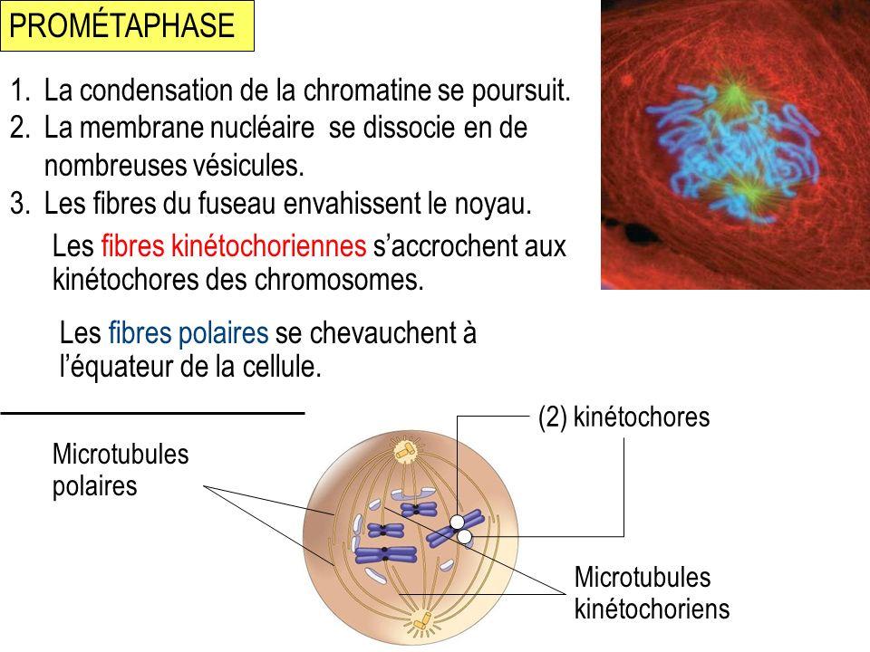 PROMÉTAPHASE (2) kinétochores 1.La condensation de la chromatine se poursuit. 2.La membrane nucléaire se dissocie en de nombreuses vésicules. 3.Les fi