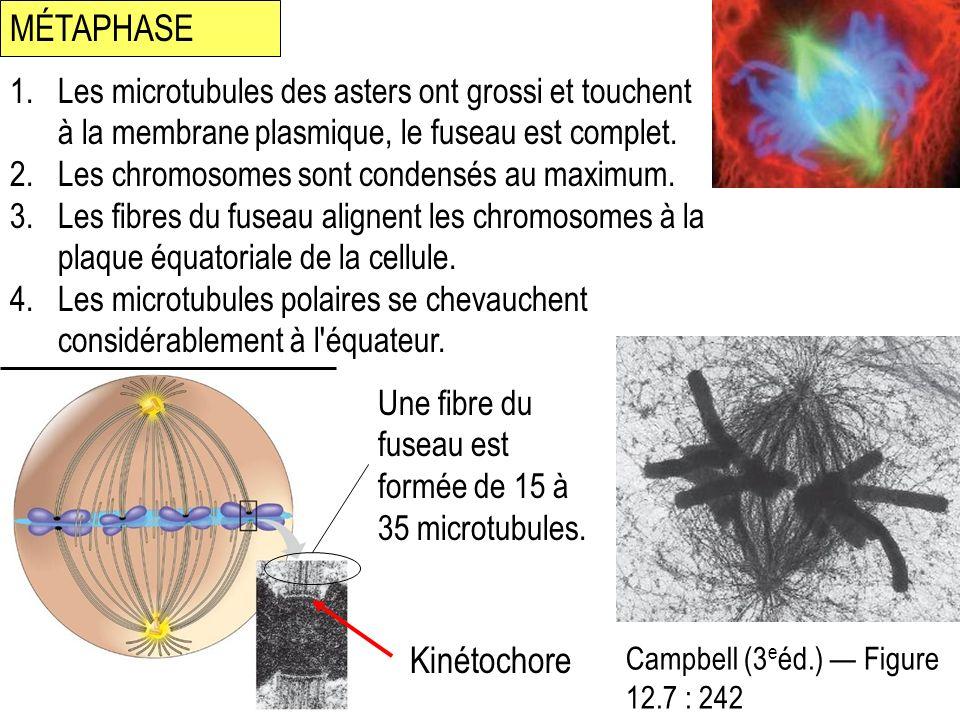 MÉTAPHASE Campbell (3 e éd.) Figure 12.7 : 242 Kinétochore 1.Les microtubules des asters ont grossi et touchent à la membrane plasmique, le fuseau est complet.