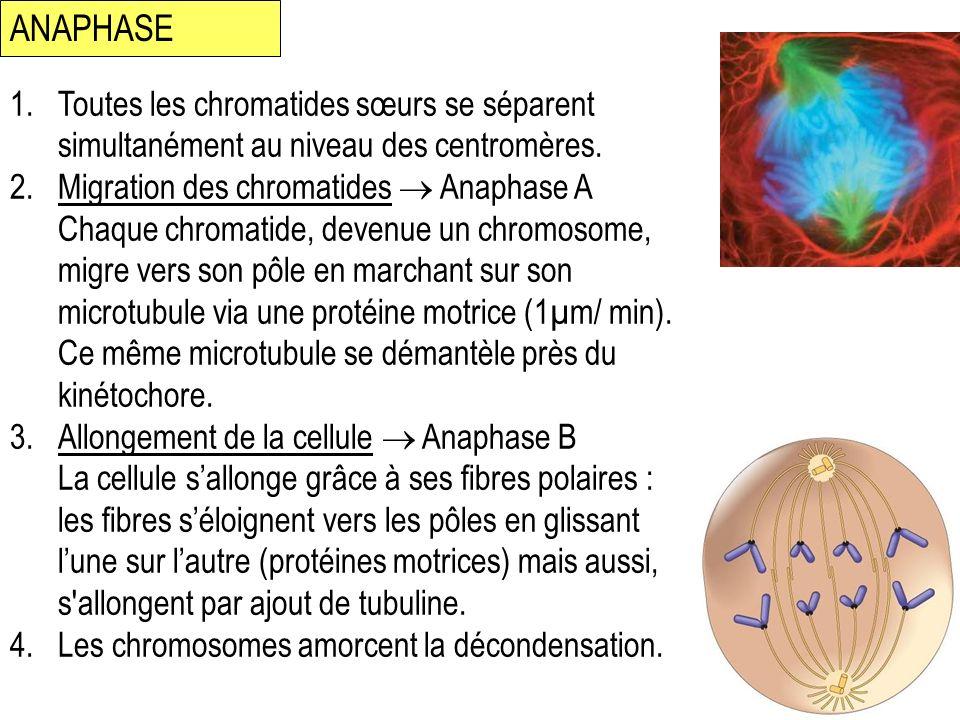 ANAPHASE 1.Toutes les chromatides sœurs se séparent simultanément au niveau des centromères. 2.Migration des chromatides Anaphase A Chaque chromatide,
