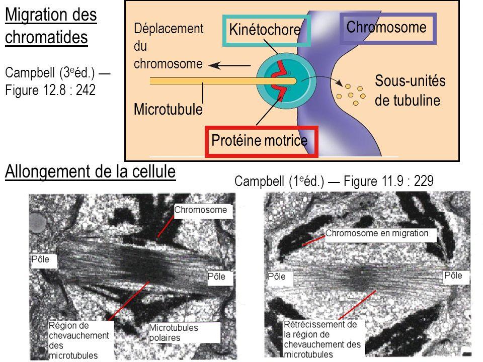 Migration des chromatides Protéine motrice Microtubule Sous-unités de tubuline Kinétochore Chromosome Déplacement du chromosome Campbell (3 e éd.) Figure 12.8 : 242 Campbell (1 e éd.) Figure 11.9 : 229 Allongement de la cellule