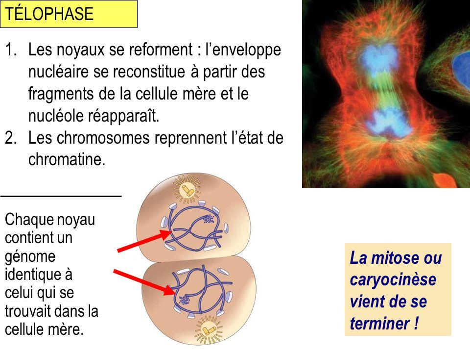 1.Les noyaux se reforment : lenveloppe nucléaire se reconstitue à partir des fragments de la cellule mère et le nucléole réapparaît. 2.Les chromosomes