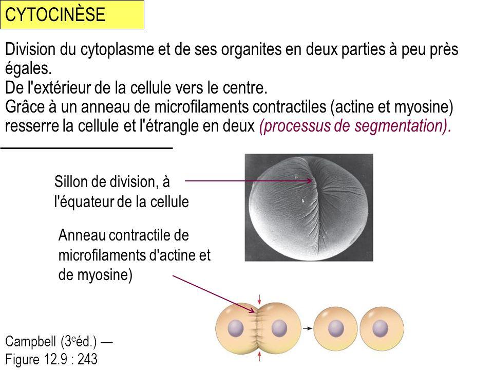 Division du cytoplasme et de ses organites en deux parties à peu près égales. De l'extérieur de la cellule vers le centre. Grâce à un anneau de microf