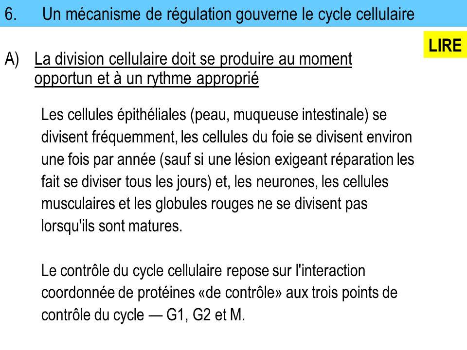 6. Un mécanisme de régulation gouverne le cycle cellulaire Les cellules épithéliales (peau, muqueuse intestinale) se divisent fréquemment, les cellule