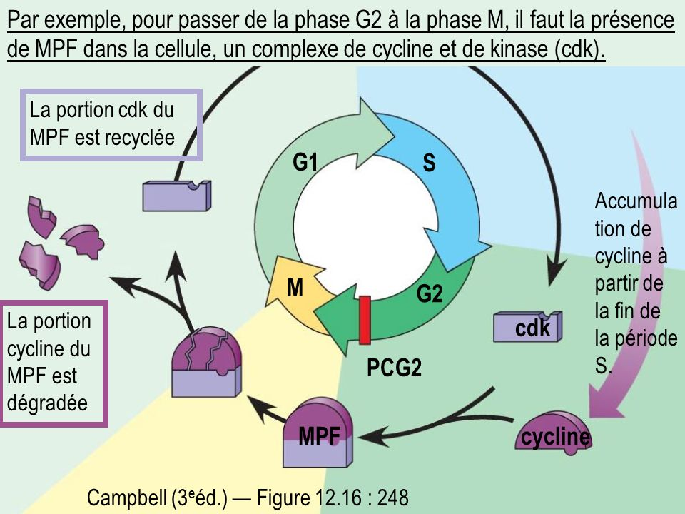 Par exemple, pour passer de la phase G2 à la phase M, il faut la présence de MPF dans la cellule, un complexe de cycline et de kinase (cdk). PCG2 G1 S