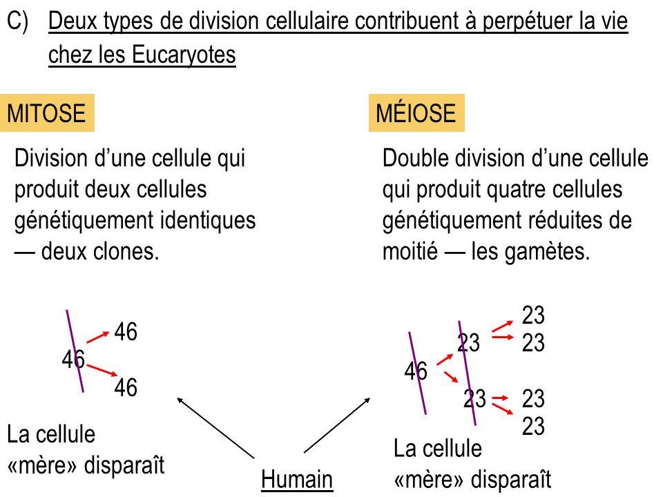 C)Deux types de division cellulaire contribuent à perpétuer la vie chez les Eucaryotes Division dune cellule qui produit deux cellules génétiquement identiques deux clones.