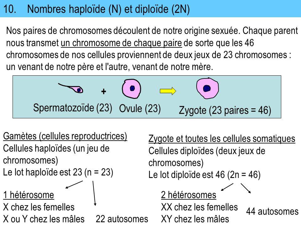10. Nombres haploïde (N) et diploïde (2N) Nos paires de chromosomes découlent de notre origine sexuée. Chaque parent nous transmet un chromosome de ch