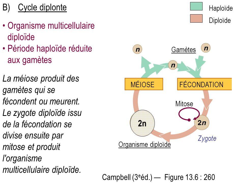 La méiose produit des gamètes qui se fécondent ou meurent. Le zygote diploïde issu de la fécondation se divise ensuite par mitose et produit l'organis