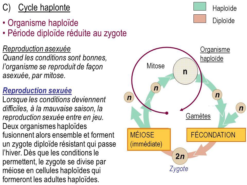 C)Cycle haplonte Reproduction sexuée L orsque les conditions deviennent difficiles, à la mauvaise saison, la reproduction sexuée entre en jeu.