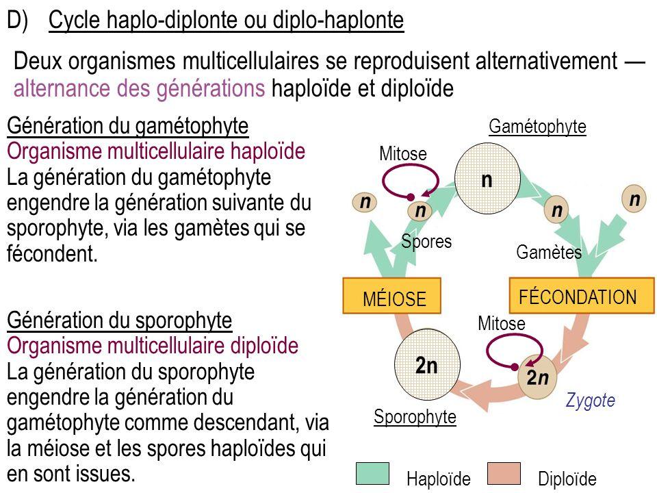Génération du gamétophyte Organisme multicellulaire haploïde La génération du gamétophyte engendre la génération suivante du sporophyte, via les gamètes qui se fécondent.