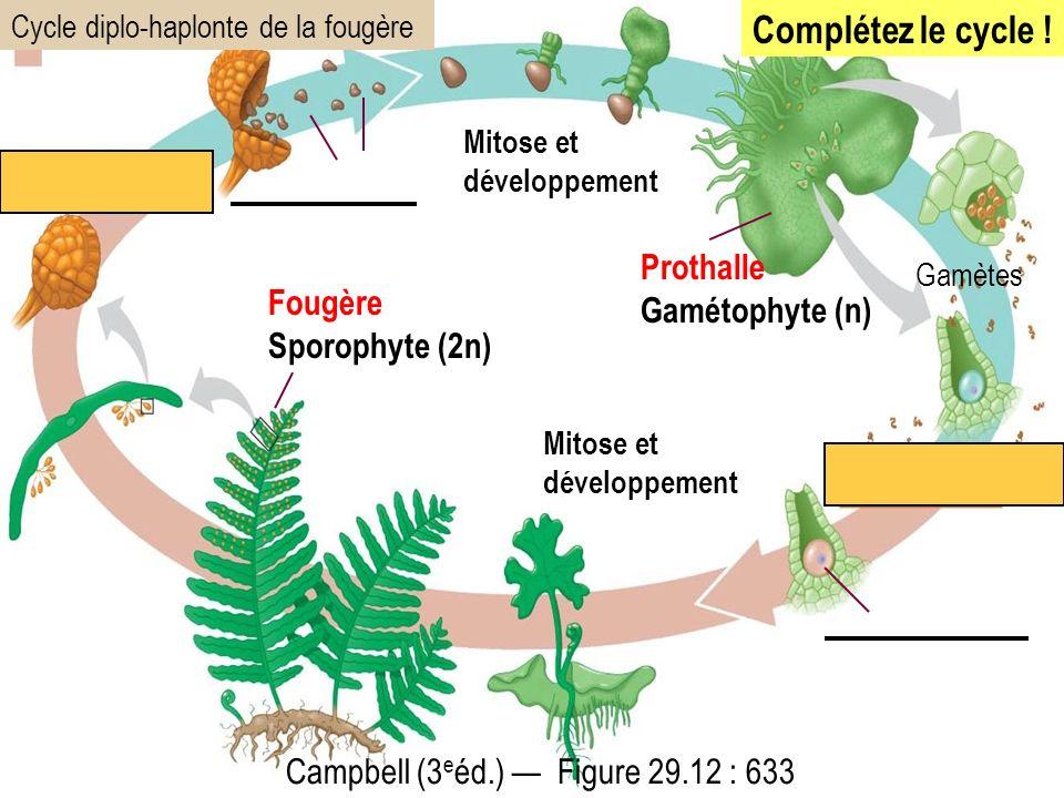Fougère Sporophyte (2n) Mitose et développement Prothalle Gamétophyte (n) Mitose et développement Campbell (3 e éd.) Figure 29.12 : 633 Cycle diplo-haplonte de la fougère Gamètes Complétez le cycle !