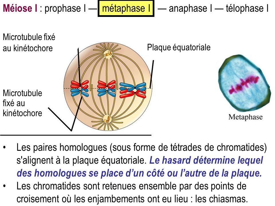 Méiose I : prophase I métaphase I anaphase I télophase I Les paires homologues (sous forme de tétrades de chromatides) s'alignent à la plaque équatori