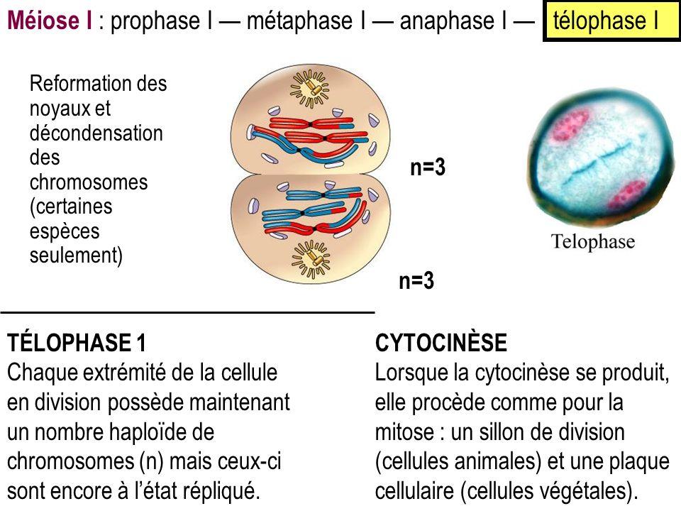 TÉLOPHASE 1 Chaque extrémité de la cellule en division possède maintenant un nombre haploïde de chromosomes (n) mais ceux-ci sont encore à létat répliqué.