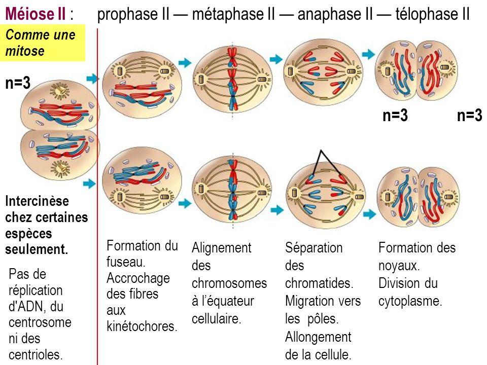 Méiose II : prophase II métaphase II anaphase II télophase II Formation du fuseau. Accrochage des fibres aux kinétochores. Alignement des chromosomes