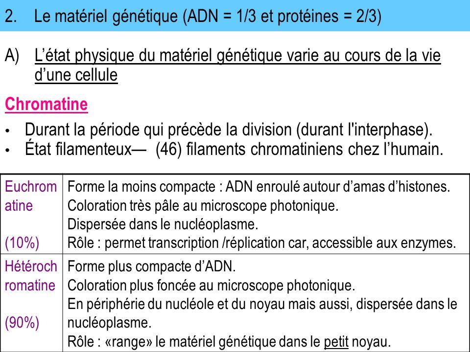 2.Le matériel génétique (ADN = 1/3 et protéines = 2/3) A)Létat physique du matériel génétique varie au cours de la vie dune cellule Chromatine Euchrom atine (10%) Forme la moins compacte : ADN enroulé autour damas dhistones.