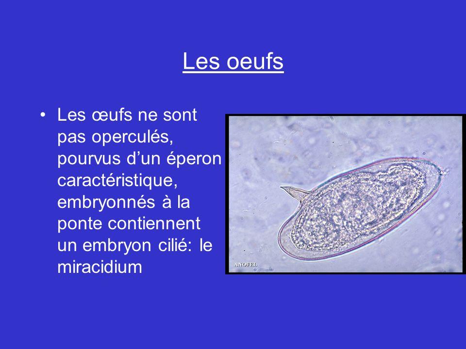 Les oeufs Les œufs ne sont pas operculés, pourvus dun éperon caractéristique, embryonnés à la ponte contiennent un embryon cilié: le miracidium