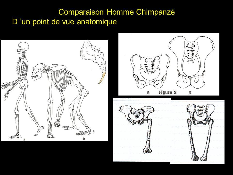 Comparaison Homme Chimpanzé D un point de vue anatomique