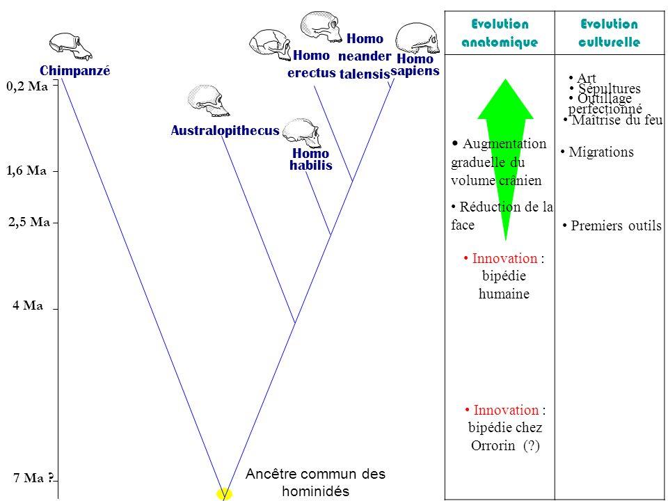 Innovation : bipédie chez Orrorin (?) Innovation : bipédie humaine A ugmentation graduelle du volume crânien Réduction de la face Premiers outils Maît