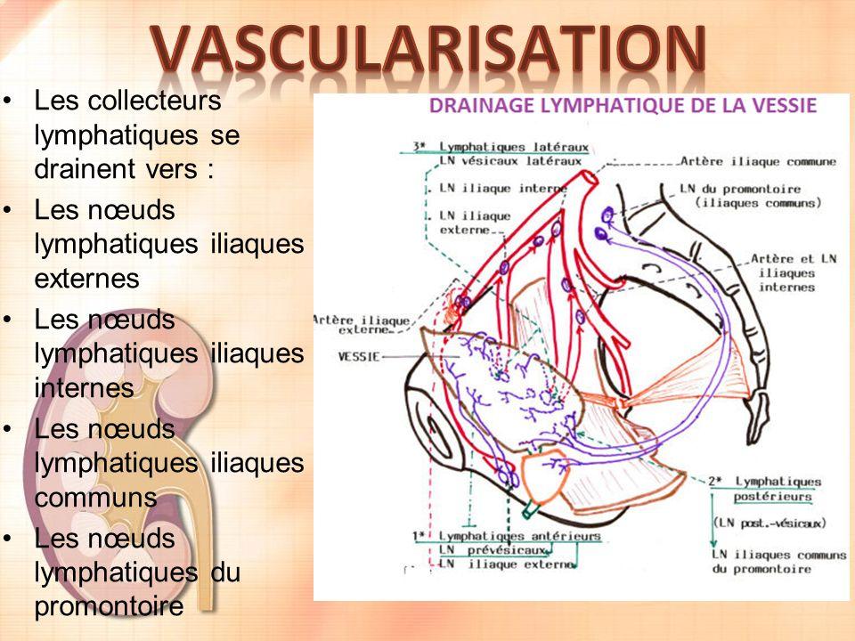 Les collecteurs lymphatiques se drainent vers : Les nœuds lymphatiques iliaques externes Les nœuds lymphatiques iliaques internes Les nœuds lymphatiques iliaques communs Les nœuds lymphatiques du promontoire