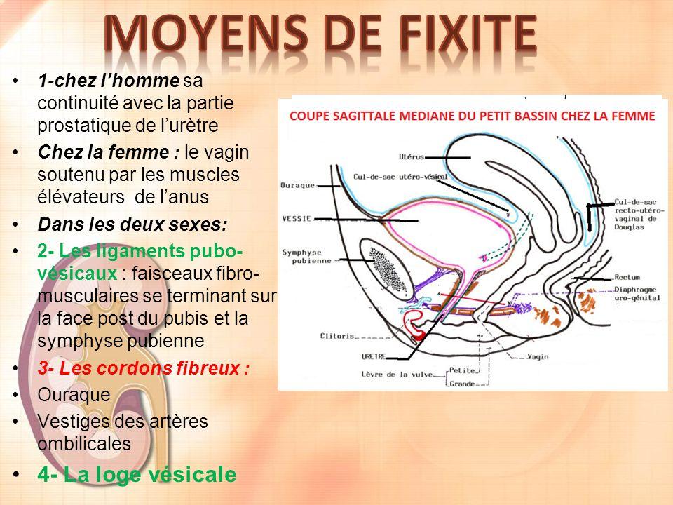 1-chez lhomme sa continuité avec la partie prostatique de lurètre Chez la femme : le vagin soutenu par les muscles élévateurs de lanus Dans les deux sexes: 2- Les ligaments pubo- vésicaux : faisceaux fibro- musculaires se terminant sur la face post du pubis et la symphyse pubienne 3- Les cordons fibreux : Ouraque Vestiges des artères ombilicales 4- La loge vésicale